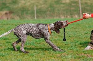 perro de pelea que necesitan adiestramiento