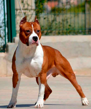amstaff red nose
