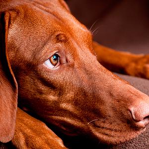 cachorro de raza vizsla