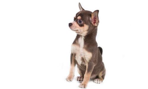 razas pequeñas de perros