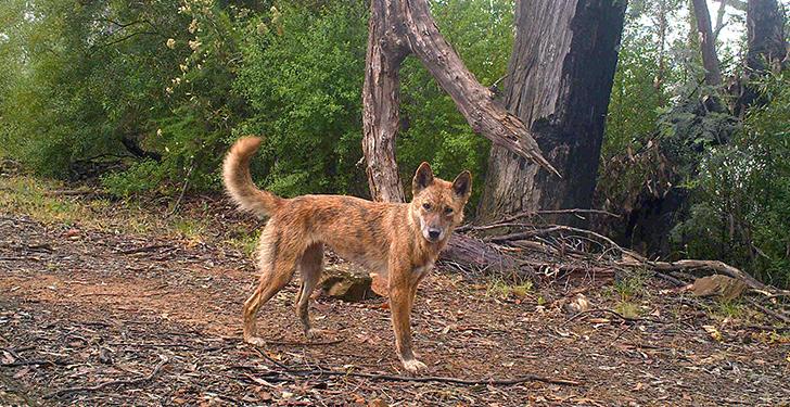 Dingo perro australiano