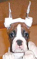 cortar orejas al perro otoplastia