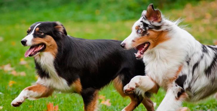 conflicots de perros