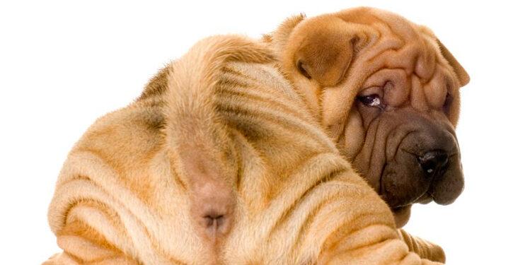 perros de raza shar pei