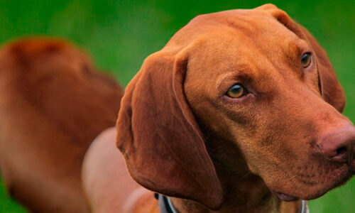 vizsla, la raza de perros de los hungaros