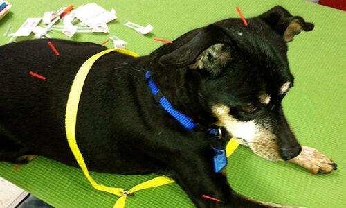 acupuntura-para-perros