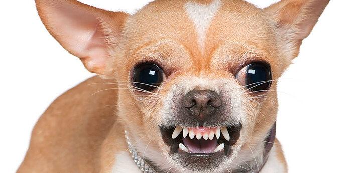 Wild dog face