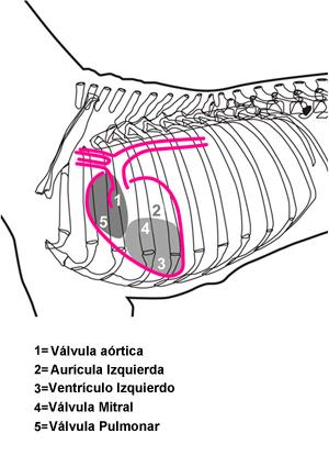 El sistema cardiovascular del perro