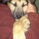Mestizo Cachorro de pastor alemán y pastor belga.