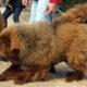 Mastin Tibetano en venta, Tibetan Mastiff for sale