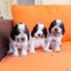 Preciosos cachorros de Cocker Spaniel Inglés