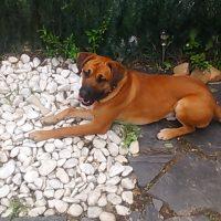 Regalo perrito de 15 meses mestizo de boxer y labrador