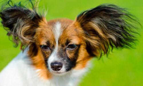 Papillón - Phalene o Spaniel Continental Enano de compañia, un perro ideal para la casa