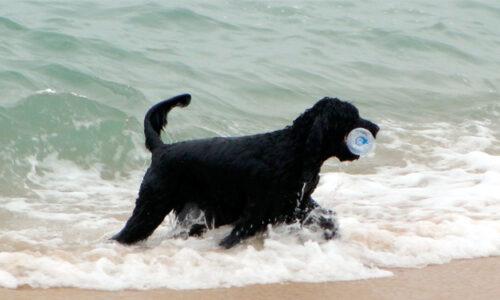 Perro de Agua Porgues - el perro de Barack Obama