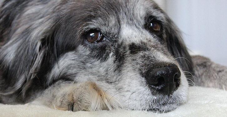 La vejez de mi perro - Mi perro envejece