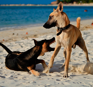 perros alfa peleando