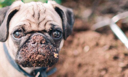 Perros cavando en el jardin
