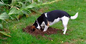 Perros haciendo hoyos en el jardin