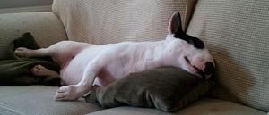 Bull terrier en el sofa