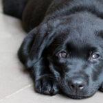 Lenguaje Canino: Comparativa con el Lenguaje Humano