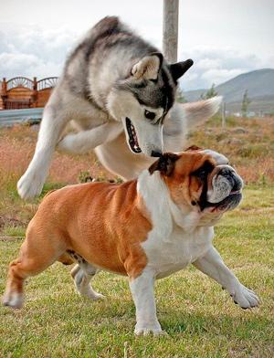 El Husky Siberiano es una raza neotenica