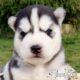 Cachorros HUSKY SIBERIANO Loe