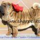 impresionantes cachorros  shar pei