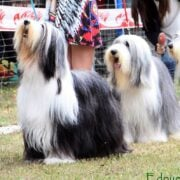 De Sugar Brown Bearded Collie