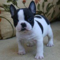 Bulldog Francés. Cachorros pu