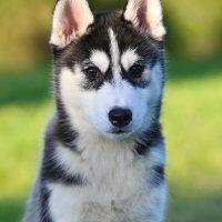 Cachorro Siberian Husky Hembra