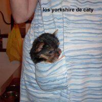 yorkshire TOY en tarragona (ga