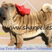 cachorritos shar pei