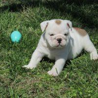 Bulldogs para adopción