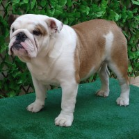 Precioso cachorro macho disponible . Bulldogs de la Meseta .