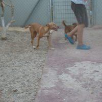 Daria, Podenco en adopción
