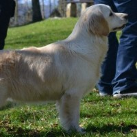 Excelente Camada de Golden Retriever