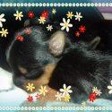 Preciosos Yorshire Terrier inscritos en el LOE de la RSCE
