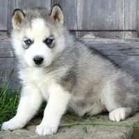 Husky siberiano disponible
