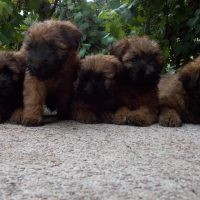 Cachorros  Soft Coated Wheaten