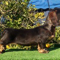 Cachorra de Teckel miniatura p