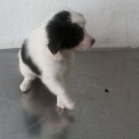 VENDO PRECIOSA BORDER COLLIE  320 9924742