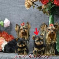 se venden magnificos cachorros de yorkshire toy