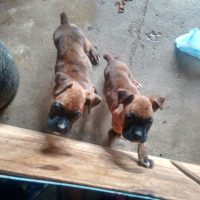 vendo perros boxer