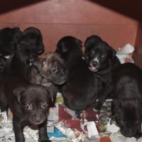 Ofrezco 8 cachorritos pitbull en adopción