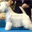 west highlad white terrier