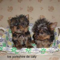 yorkshire mini en tarragona